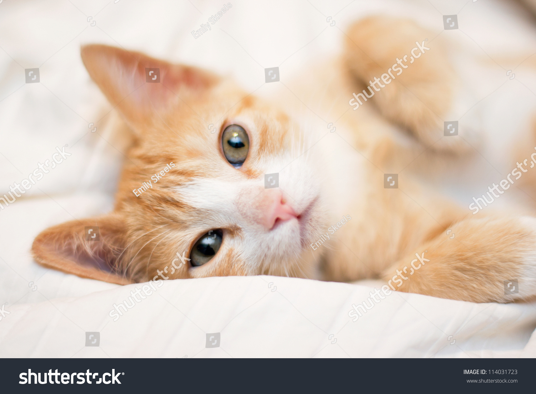 Cute Orange Kitten Looking Camera Stock Shutterstock