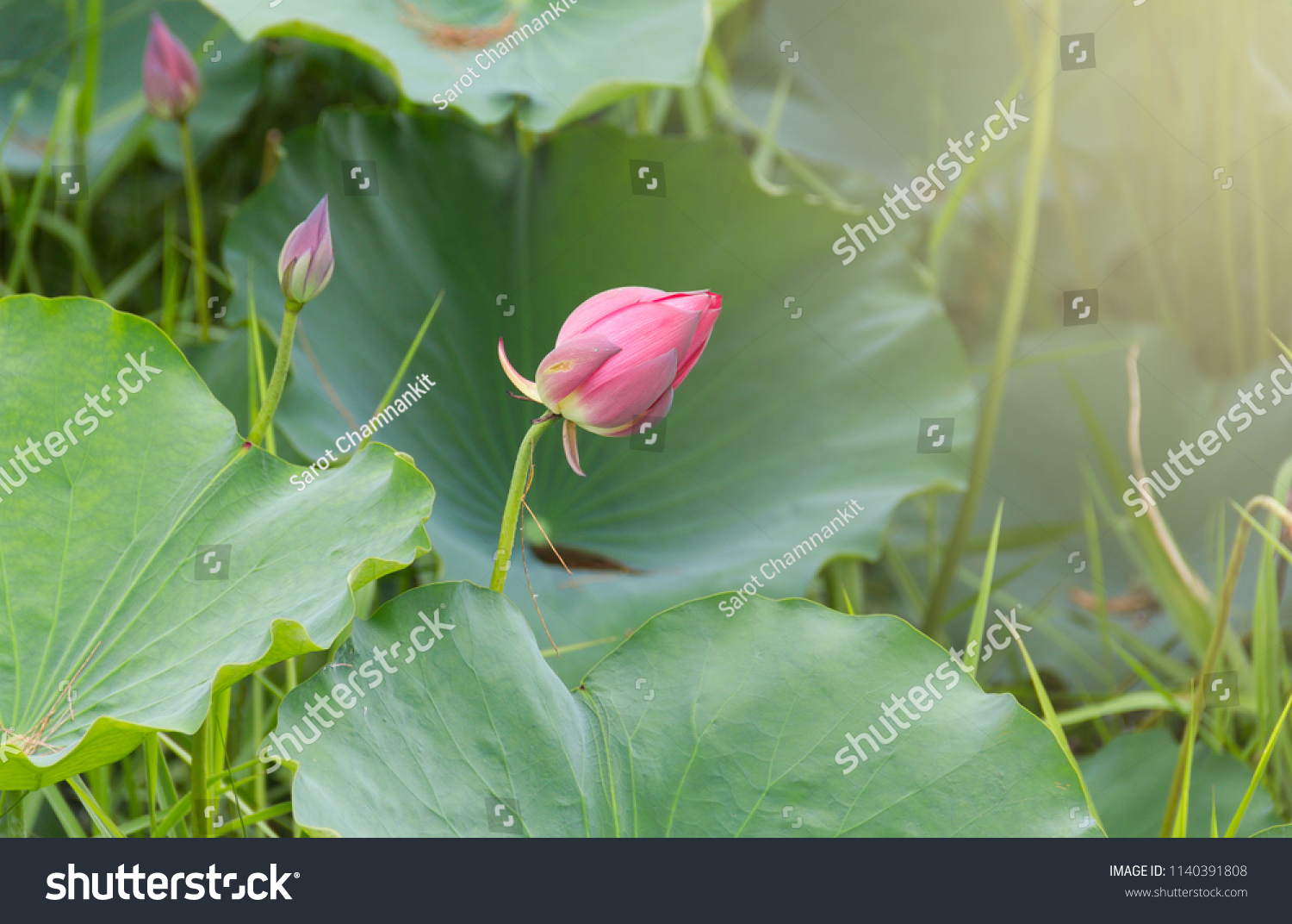 Pink Lotus Flower Buds And Lotus Leaves With Grass In The Swamp