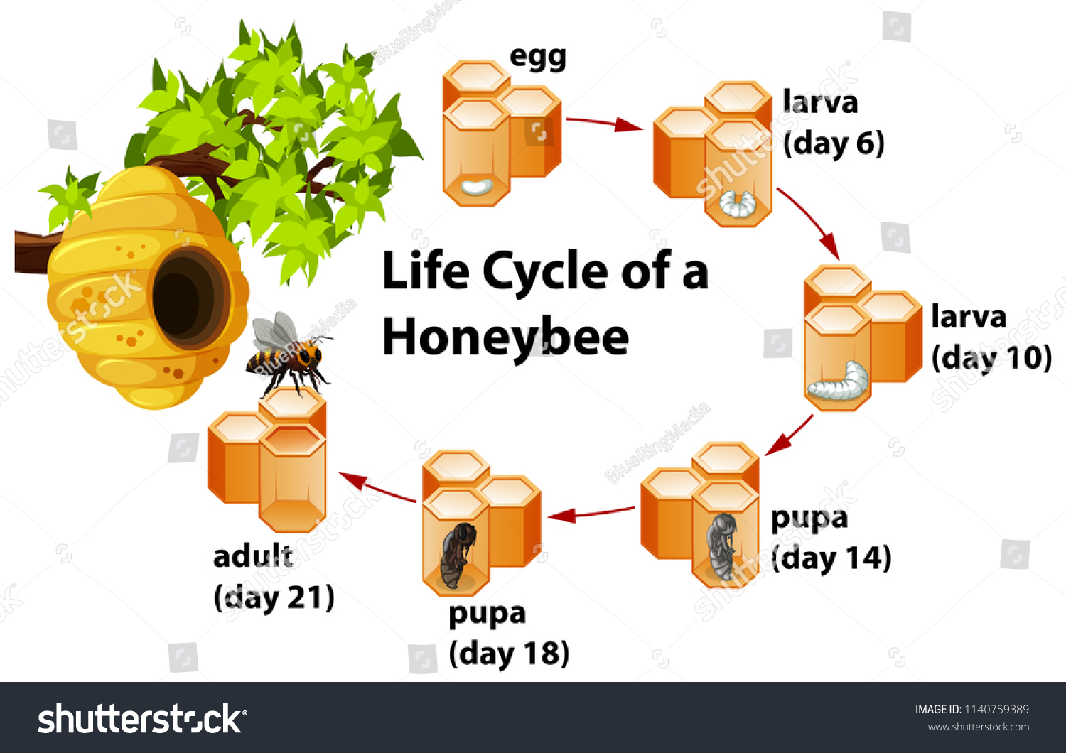 Life cycle honeybee illustration stock vector royalty free life cycle of a honeybee illustration ccuart Images