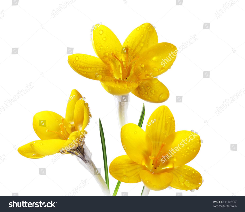 Three Yellow Crocus Flowers Rain Drops Stock Photo Edit Now