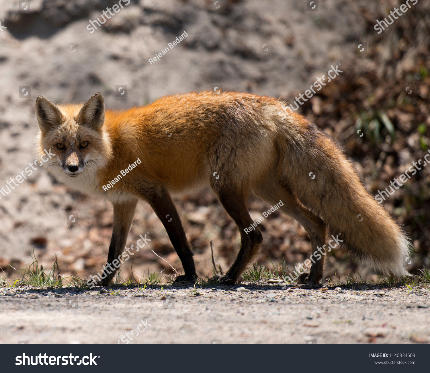 Red fox mother with her kit foxes