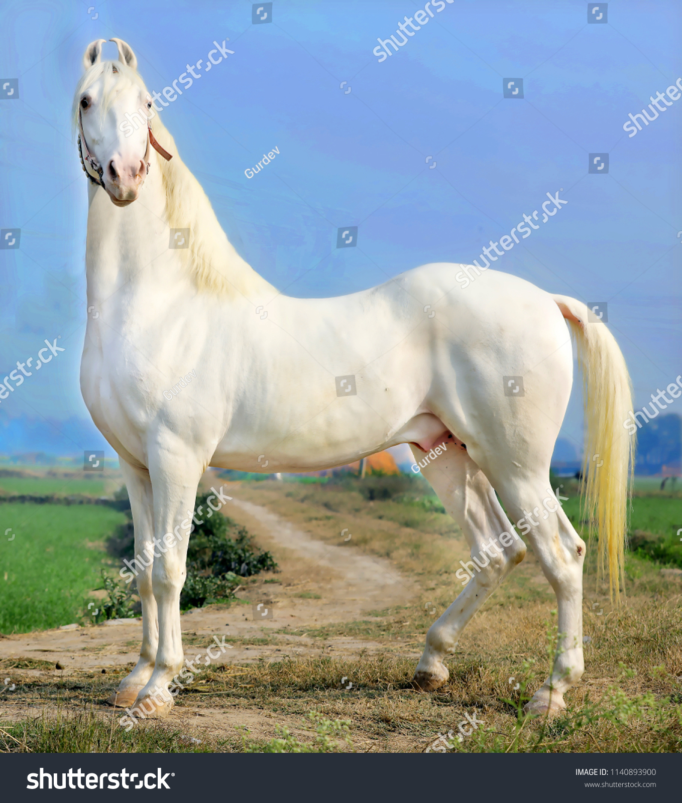Beautiful White Horse Indian Breed Horse Stock Photo Edit Now 1140893900