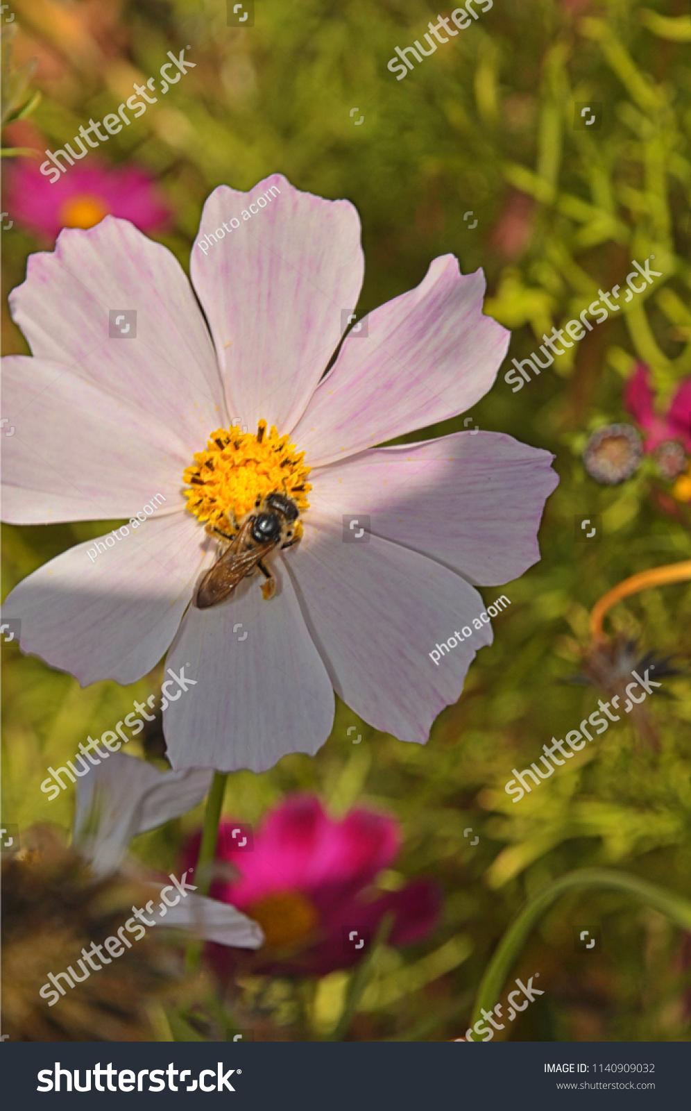 Bee on daisy flower stock photo royalty free 1140909032 shutterstock bee on the daisy flower izmirmasajfo