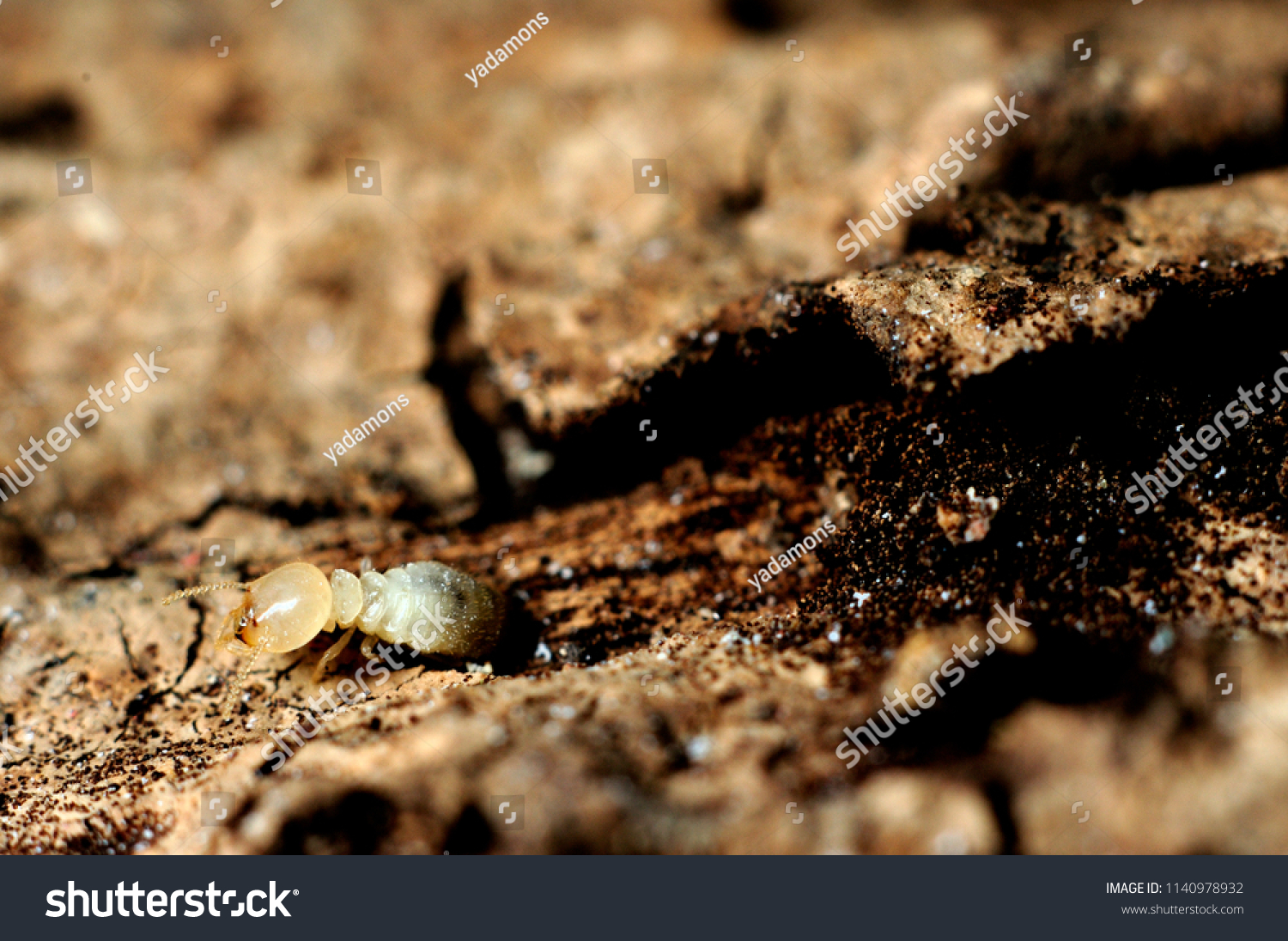 Closeup Single Termite Eat Wood House Animals Wildlife Stock Image 1140978932