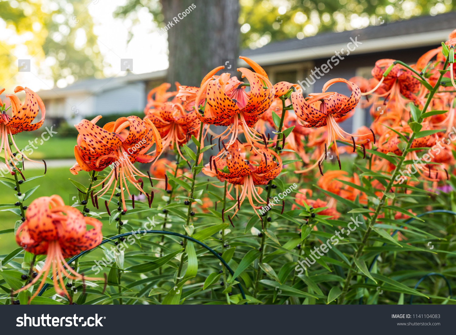 Sun Rise Over Tiger Lily Garden Stock Photo Edit Now 1141104083