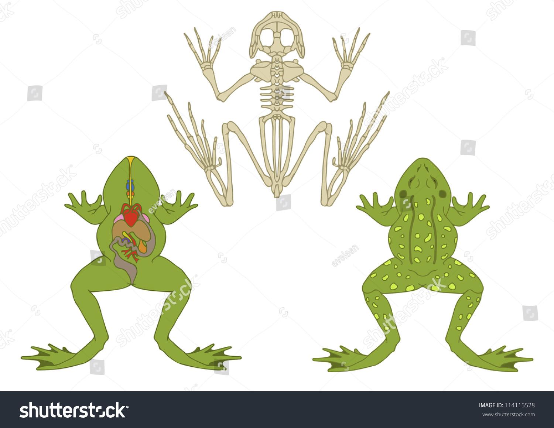 Zoology Anatomy Amphibian Stock Vector (Royalty Free) 114115528 ...