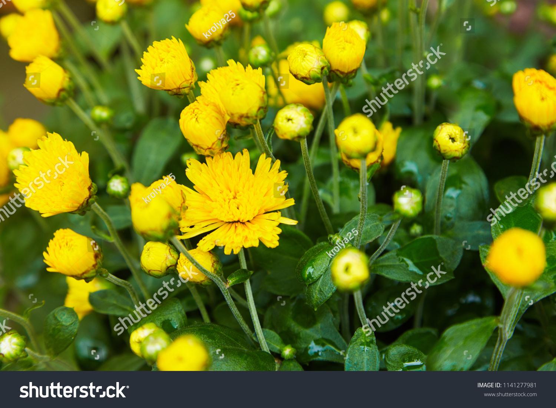 Chrysanthemum Flowers Background Close Up Yellow Stock Photo Edit
