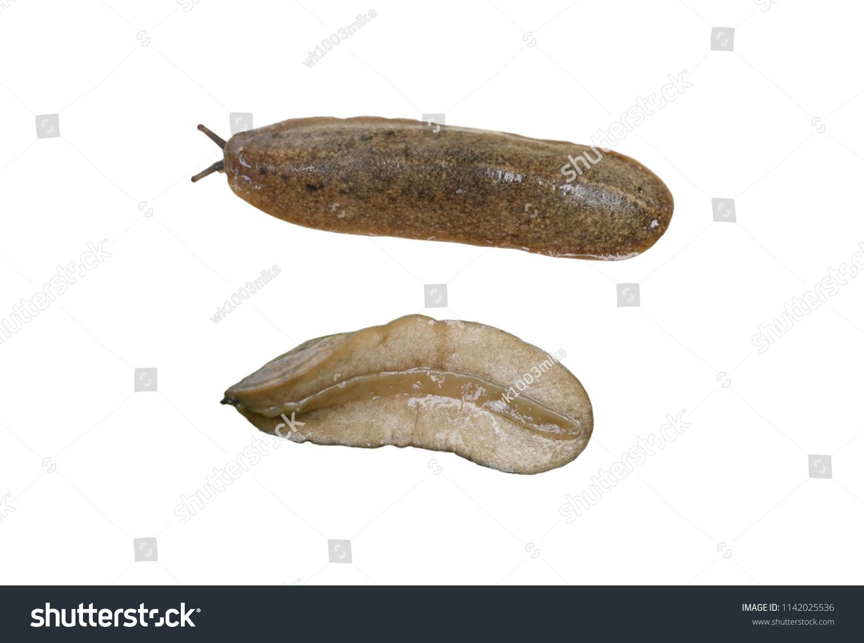 Anatomy Siamese Slug Semperula Siamensis Isolated Stock Photo (Edit ...