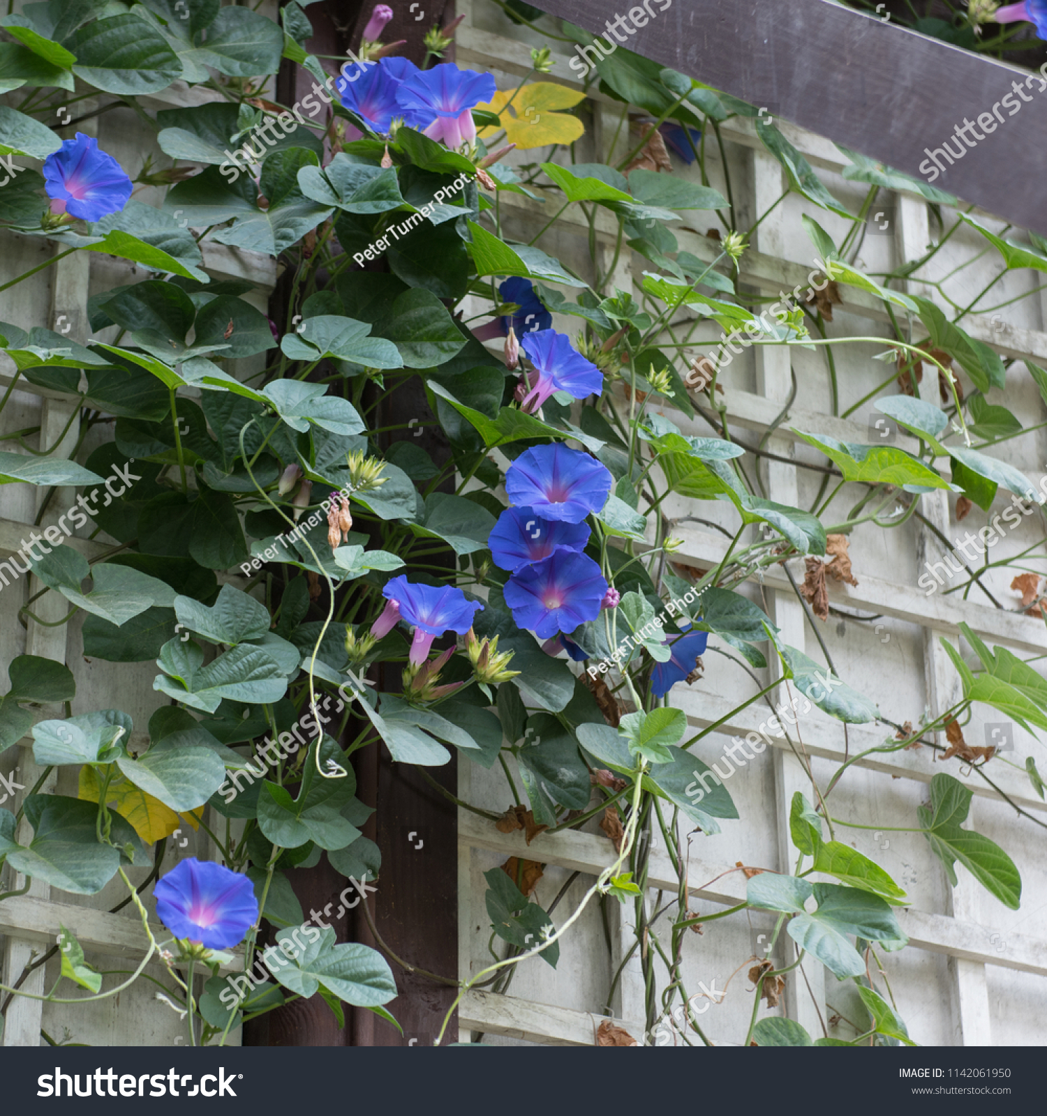Blue Dawn Flower Ipomoea Indica Climbing Stock Photo Edit Now