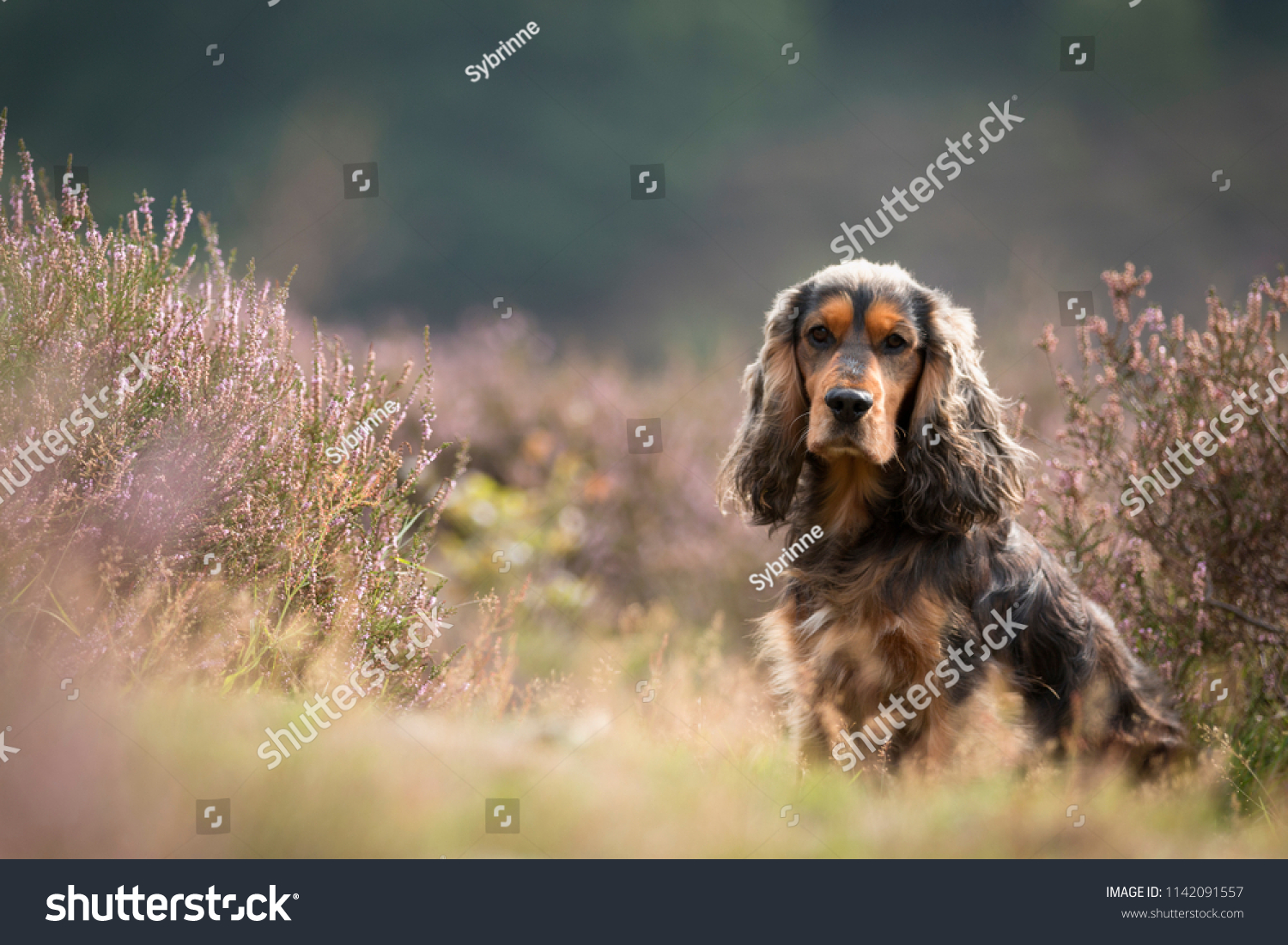 Portrait of a brown cocker spaniel in a field of purple heather #1142091557