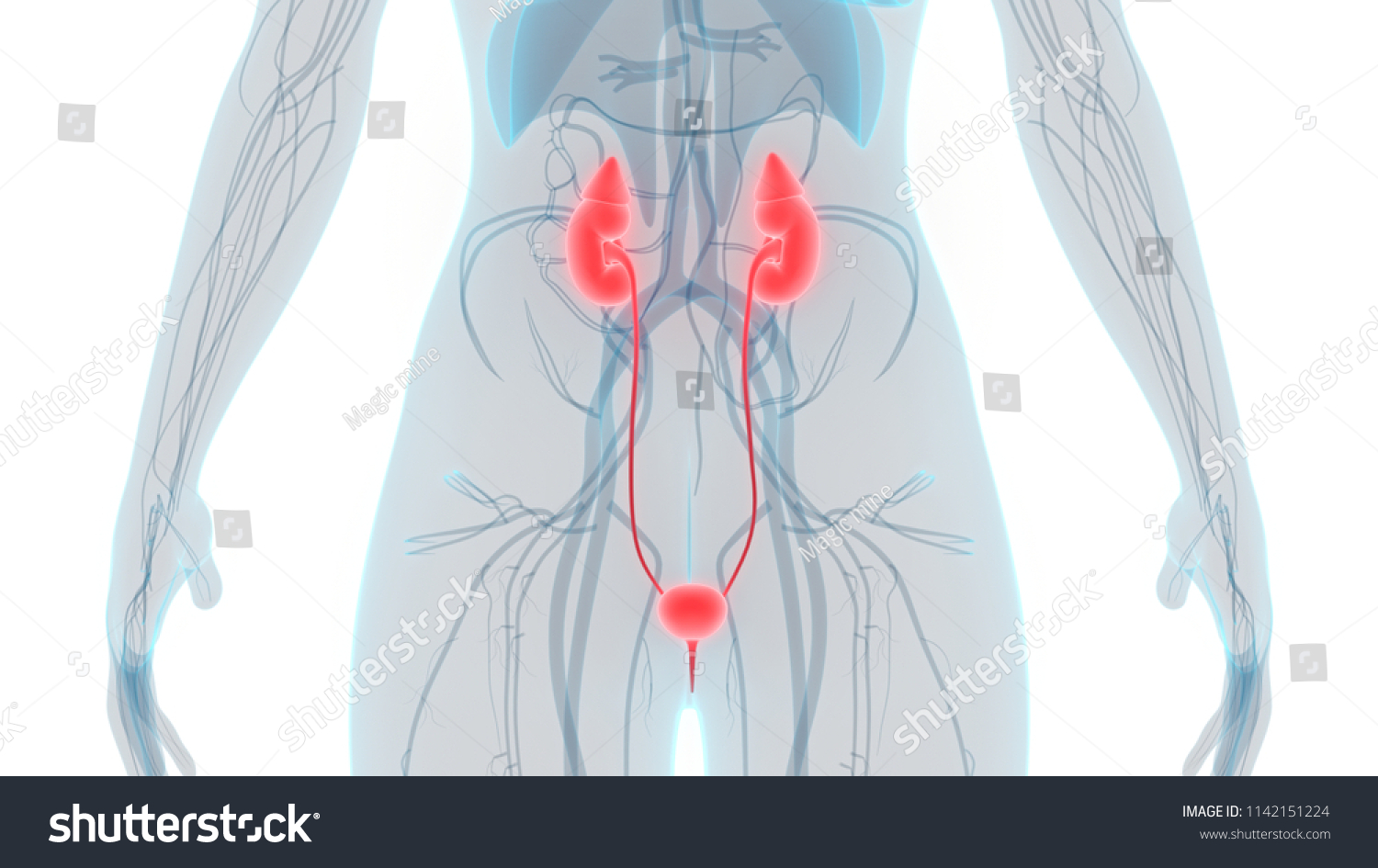 Female Urinary System Anatomy 3 D Stock Illustration Royalty Free