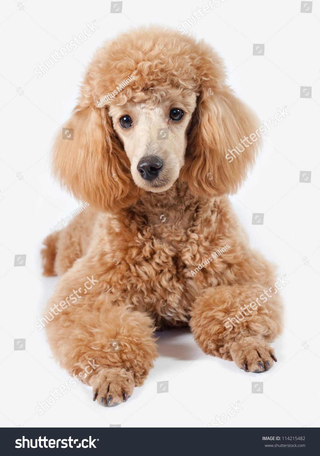 Fancy Dog Stock Photo 114215482 - Shutterstock