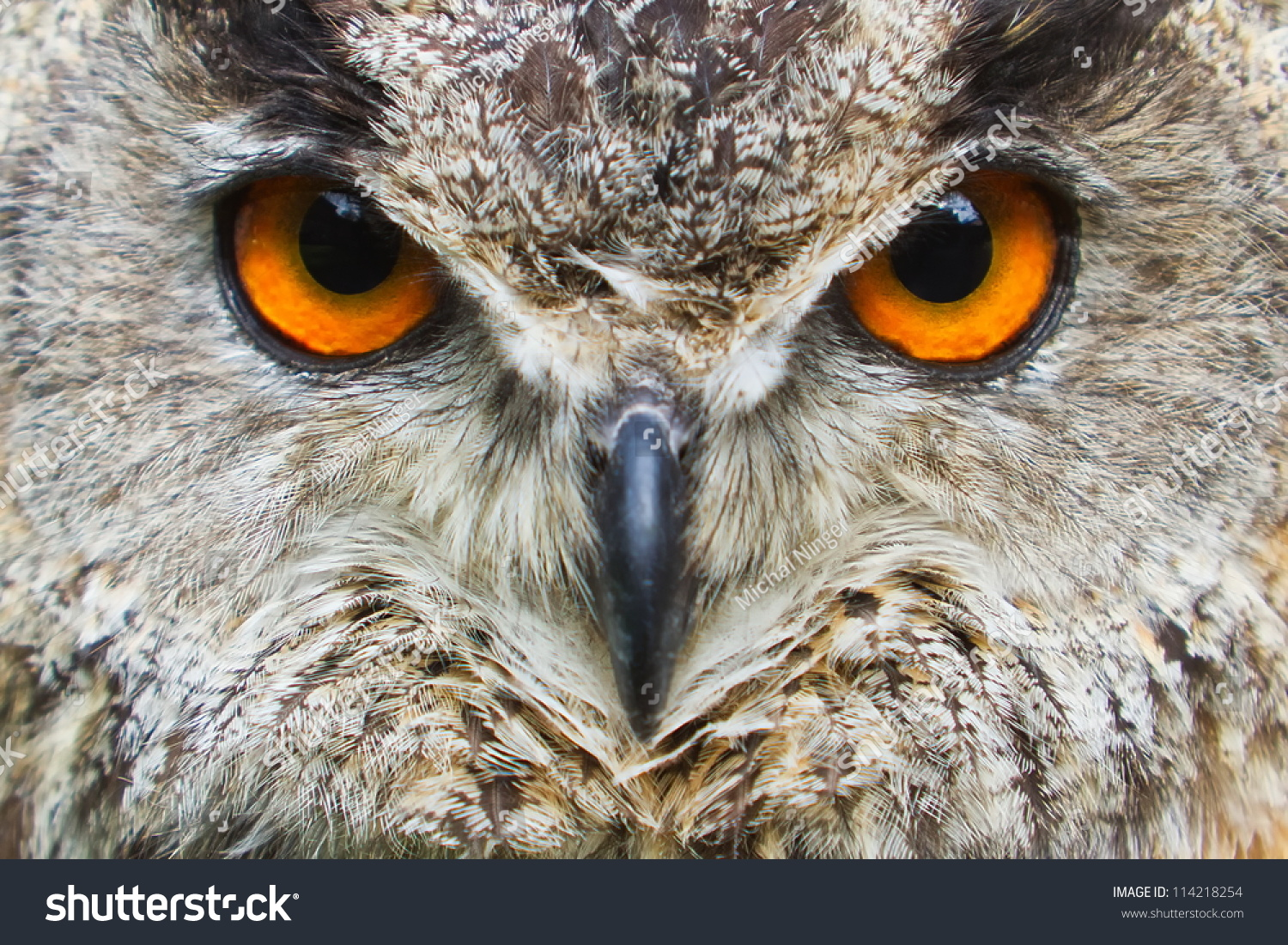 Owl Eagle Very Close U...
