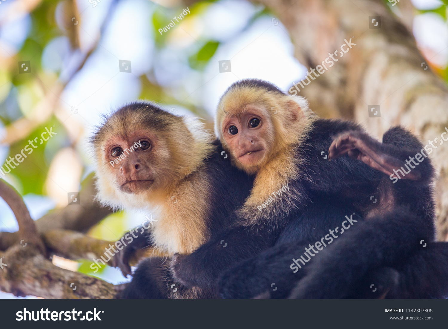 An adult white-faced capuchin monkey in Costa Rica carrying a baby on it's  back