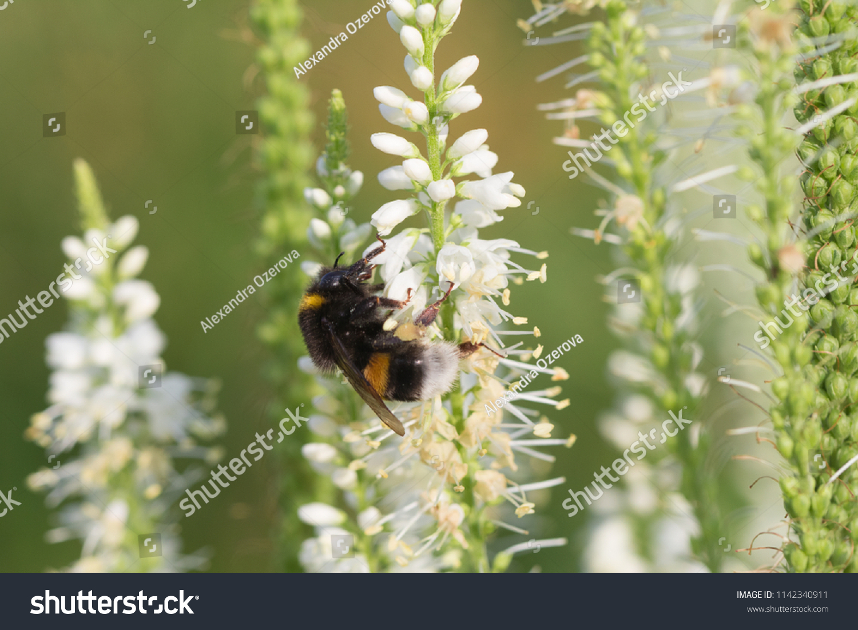 White Veronica Longifolia Known Garden Speedwell Stock Photo Edit