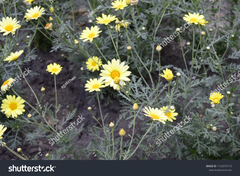 Euryops pectinatus beautiful flowers like yellow stock photo euryops pectinatus beautiful flowers like yellow daisies izmirmasajfo