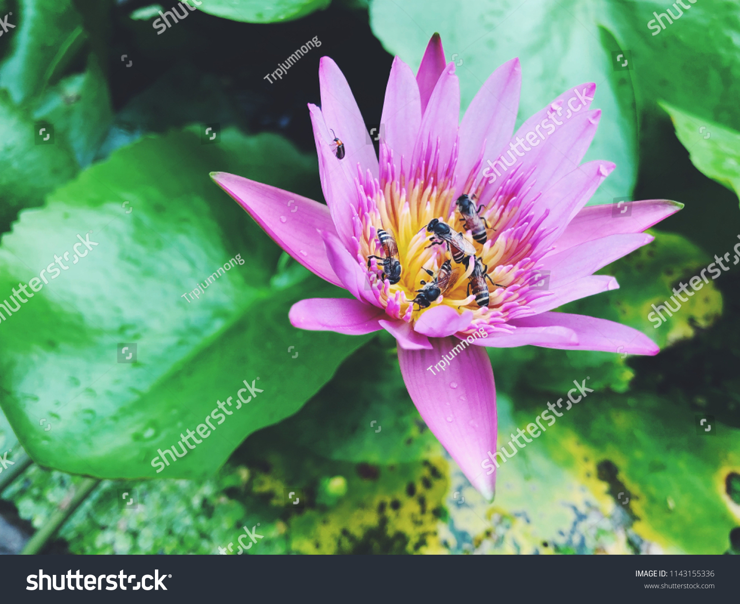 Tropical lily flower blooming bees rainy stock photo royalty free tropical lily flower blooming with bees in rainy day izmirmasajfo