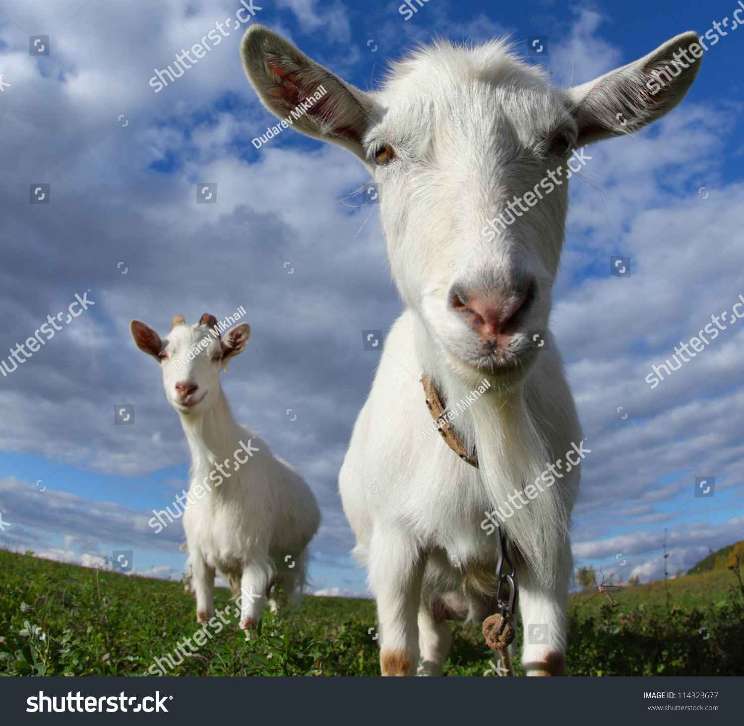 funny looking goat - photo #12