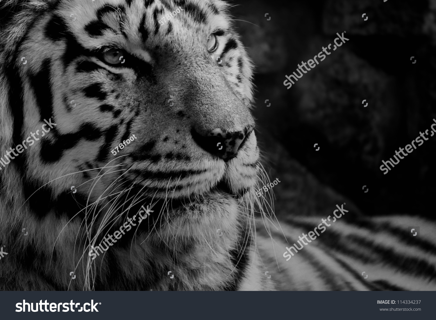 black white photo tiger stock photo (edit now) 114334237 - shutterstock