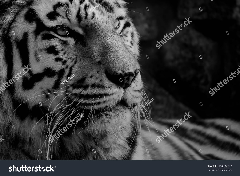black white photo tiger stock photo (edit now) 114334237 - shutterstock