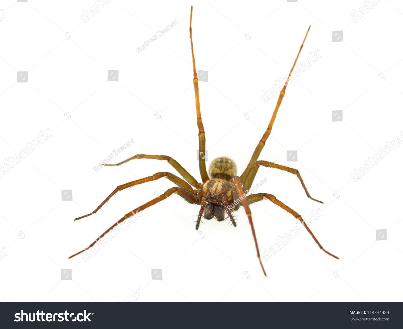 Funnel Web Spider Tegenaria Straight Hind Stock Photo ...