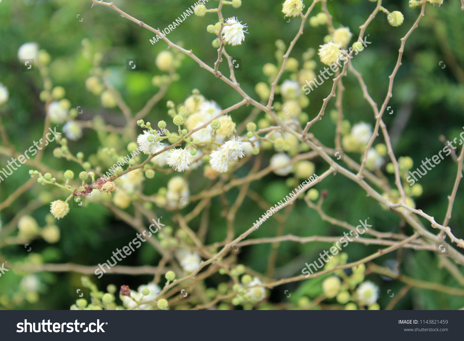 Closeup Small White Flowers Buds Indian Stock Photo Edit Now