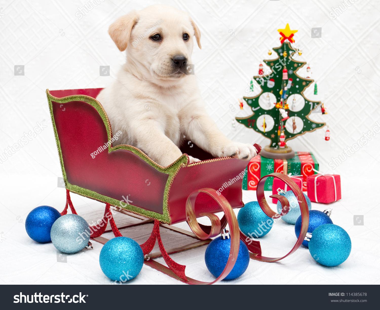 Merry Christmas Portrait Cute Labrador Puppy Stock Photo Edit Now 114385678