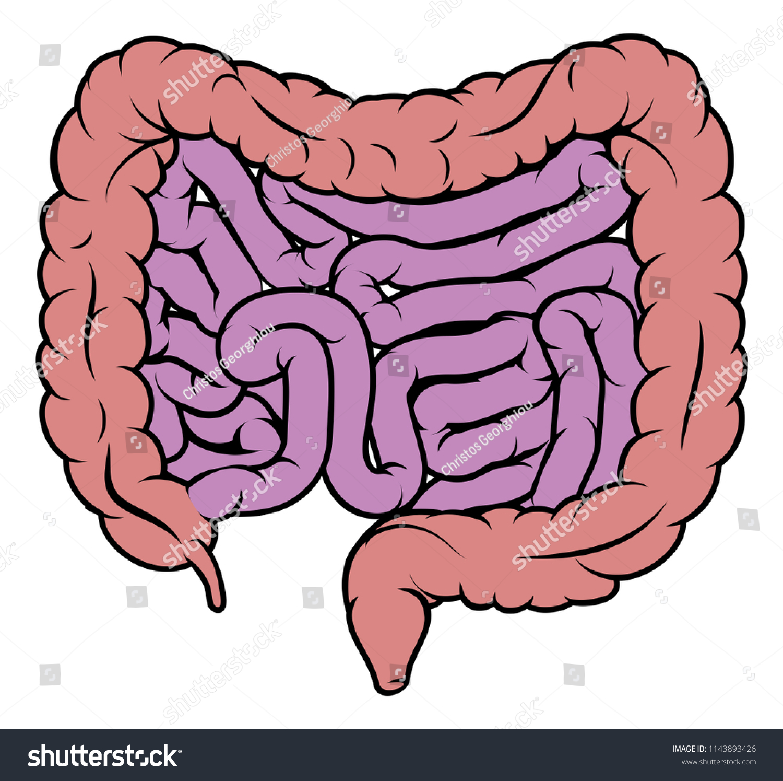 Intestines Digestive System Human Gut Gastrointestinal Stock ...