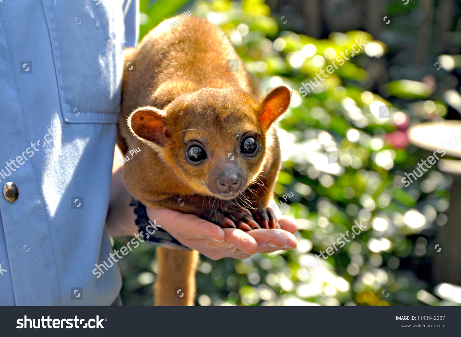 Adorable Kinkajou, Potos flavus, with big cute eyes looking at the camera, sitting on the hand