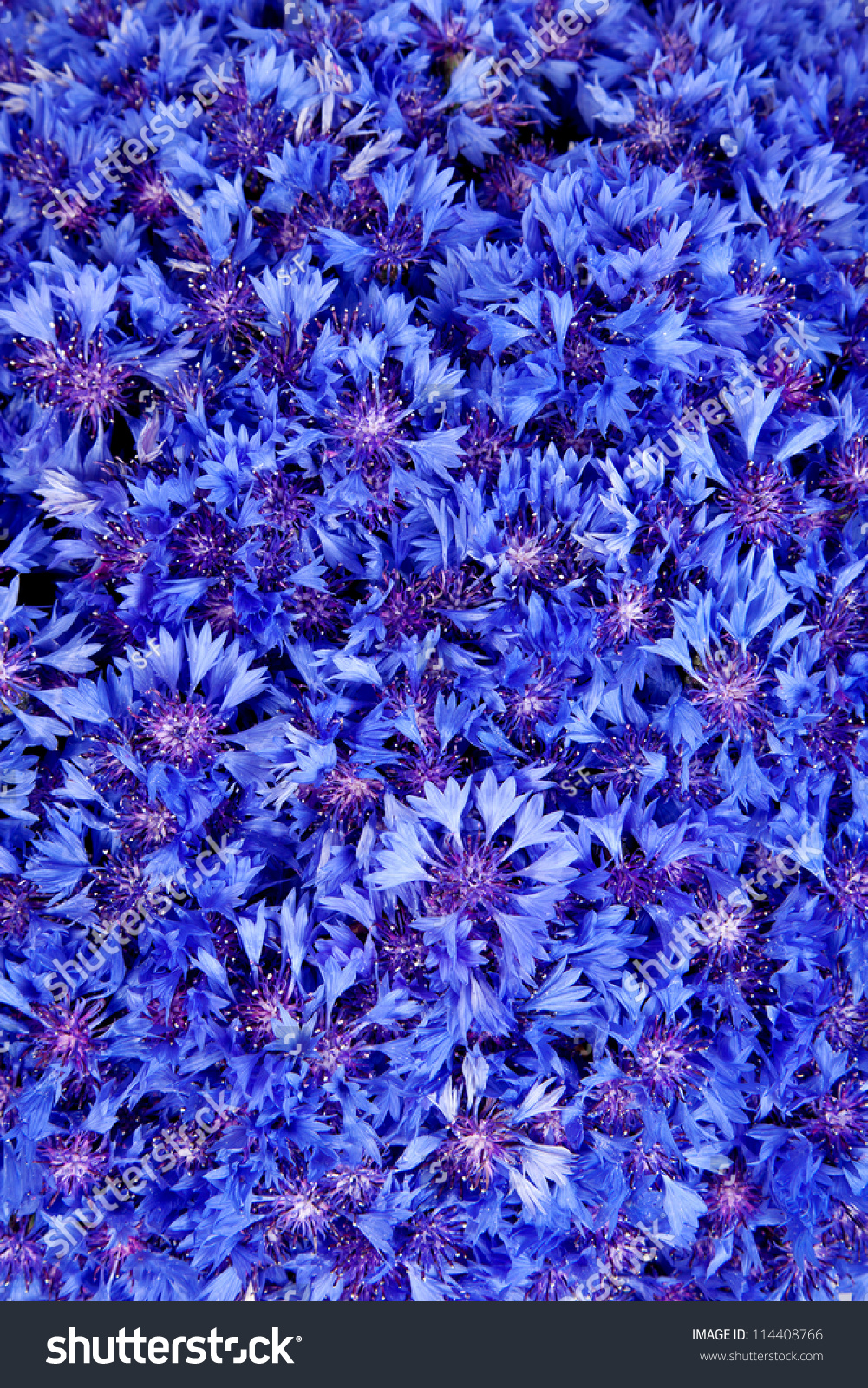 Beautiful Spring Flowers Blue Cornflower On Stock Photo Edit Now