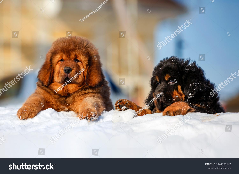 Pretty Tibetan Mastiff Puppies Open Air Stock Photo (Edit