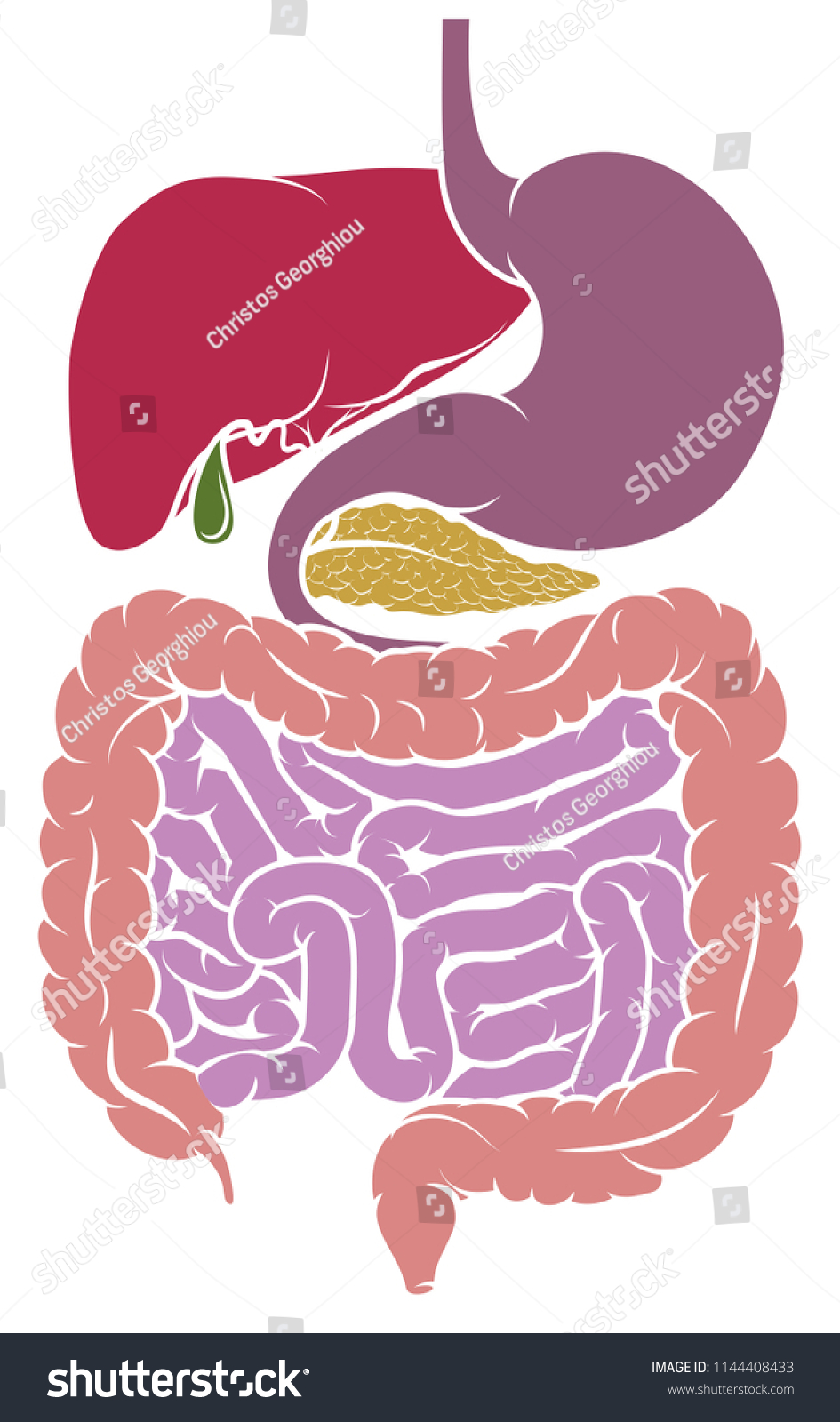 Gastrointestinal Tract Digestive System Human Anatomy Stock Vector ...