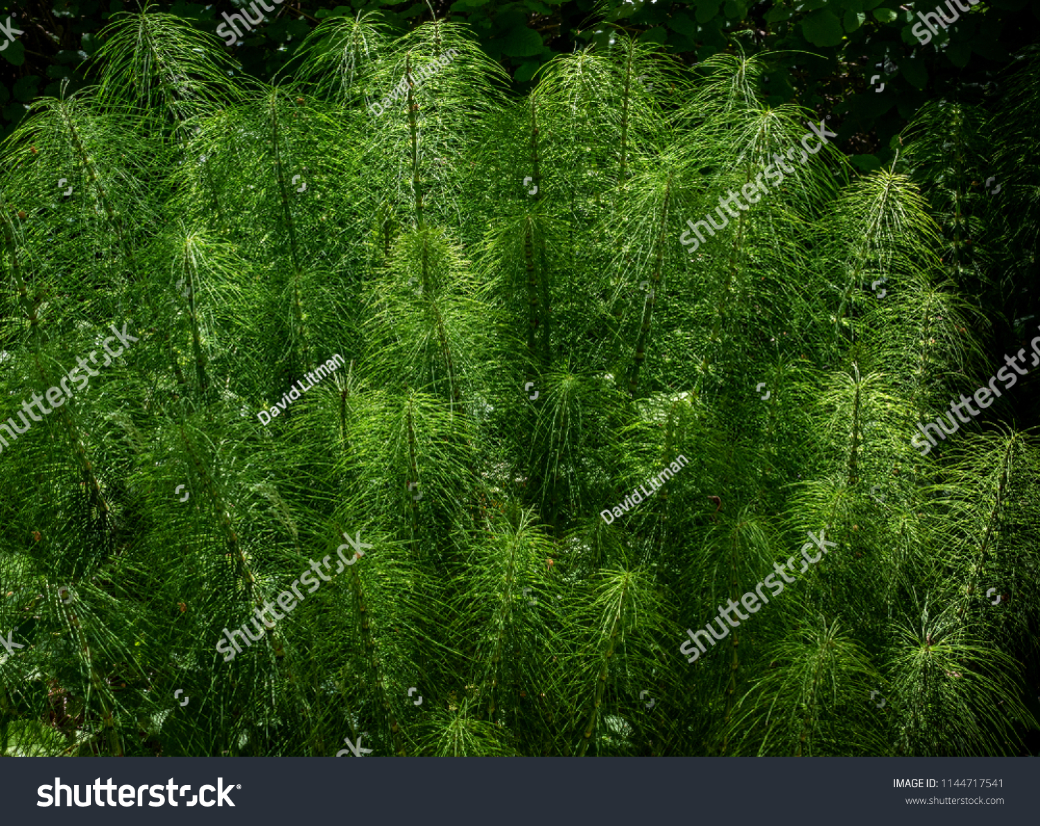Sunlight beams through a shaded forested area and highlights a patch of Northern Giant Horsetails (Equisetum telmateia), in Monterey, along the central coast of California.