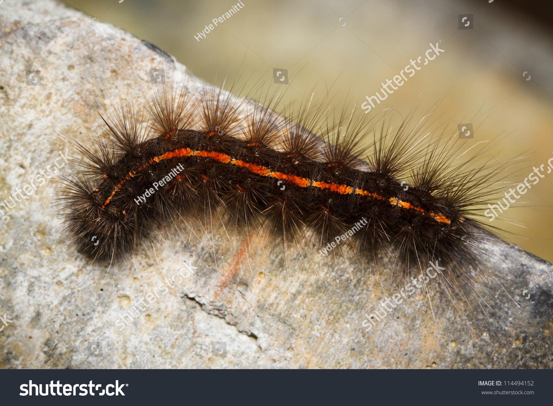 Orange Hairy Caterpillar 27