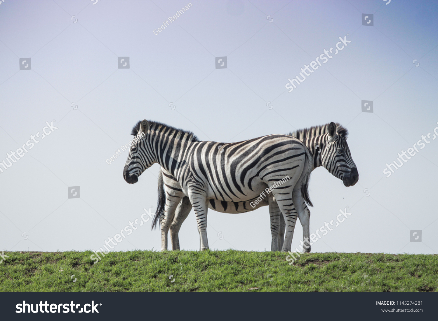 Two zebra graze together on the African plains as a way of camouflaging from predators  #1145274281