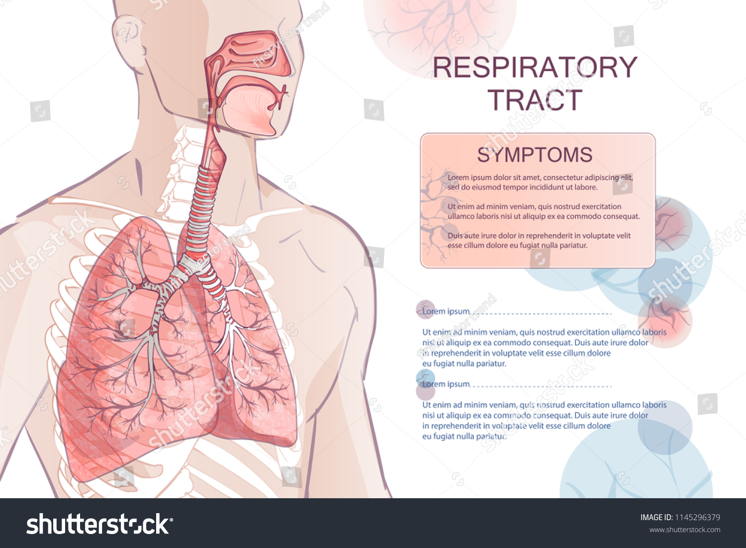 3 D Vector Human Respiratory System Lungs Stock Vector Royalty Free