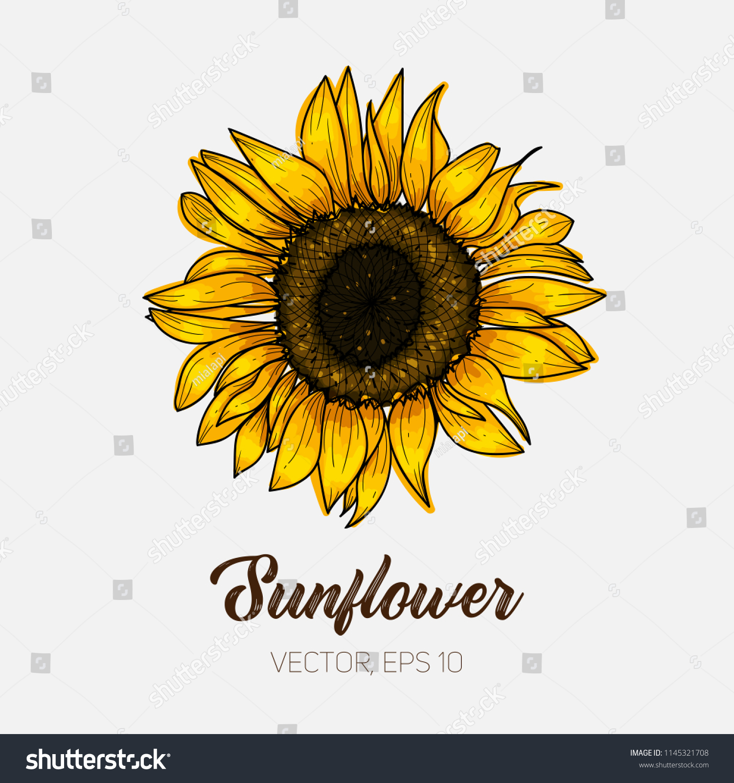 Botanical floral illustration, wild meadow sunflower, isolated on white background, card template, for book, cover, banner. Hand painted flowers. Vector, eps 10