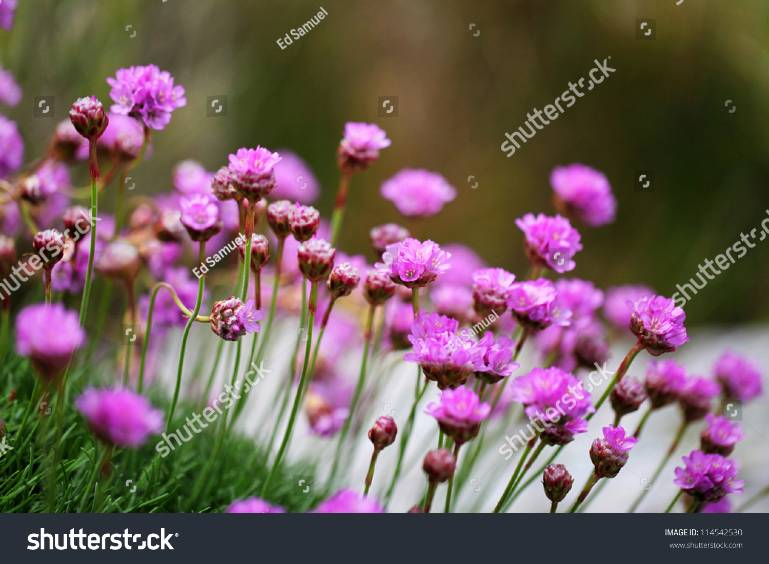 Flower Sea Thrift Wildflower Sea Pink Stock Photo Edit Now