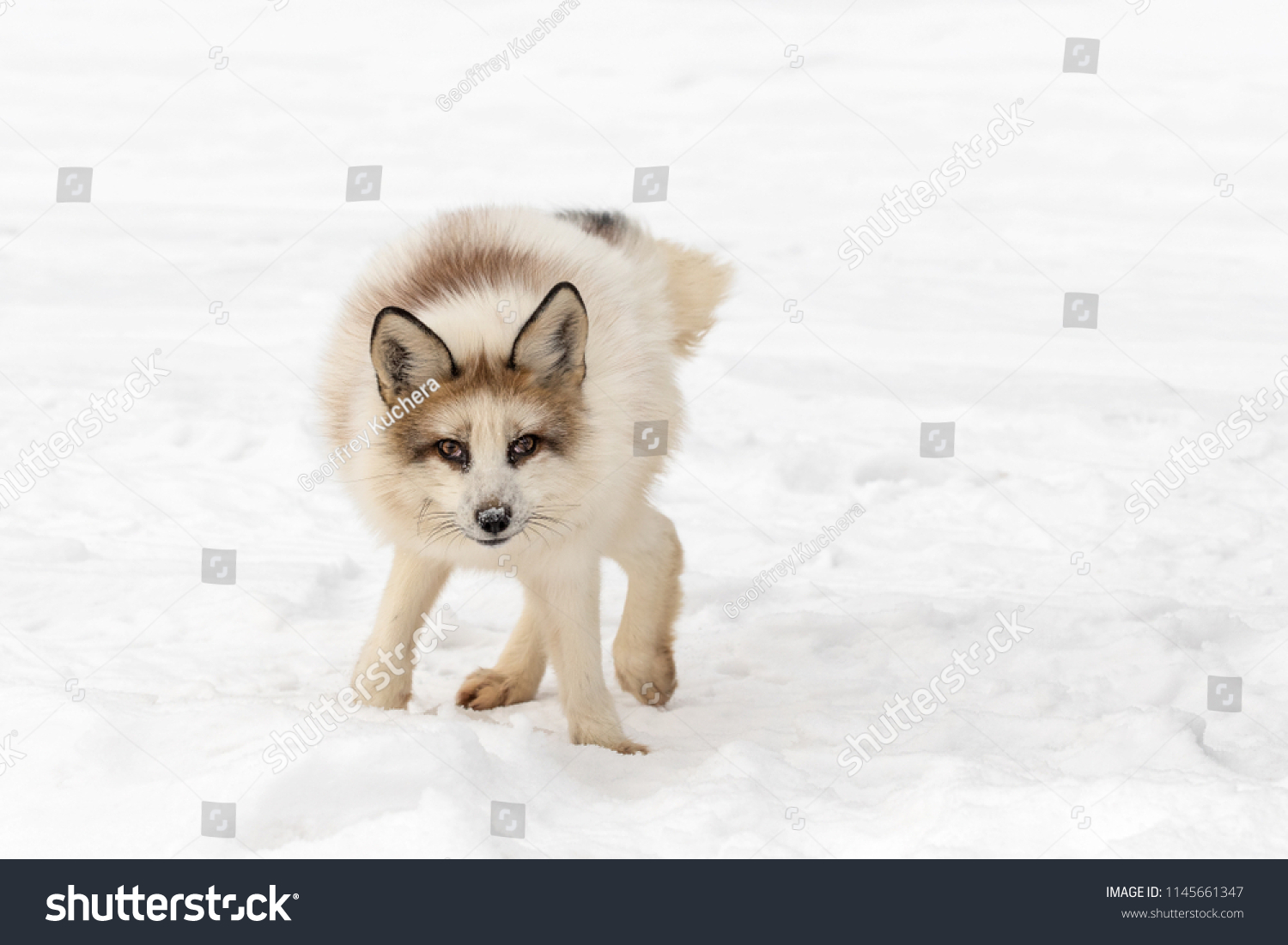 Red Marble Fox Vulpes Vulpes Awkward Stock Photo Edit Now 1145661347