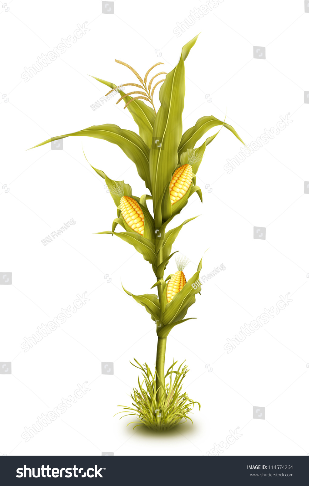 Illustrated corn stalk isolated stock photo 114574264 for Corn stalk template