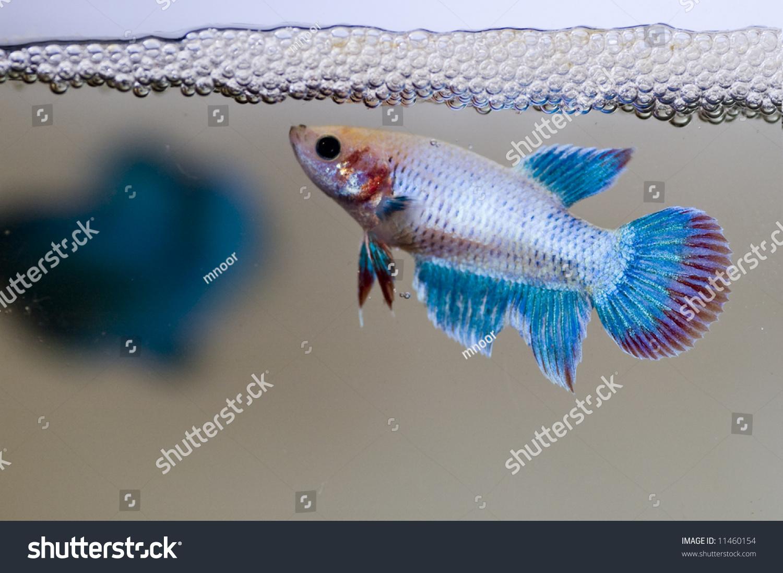 Siamese female fighting fish guarding her stock photo for Bubbles in betta fish tank
