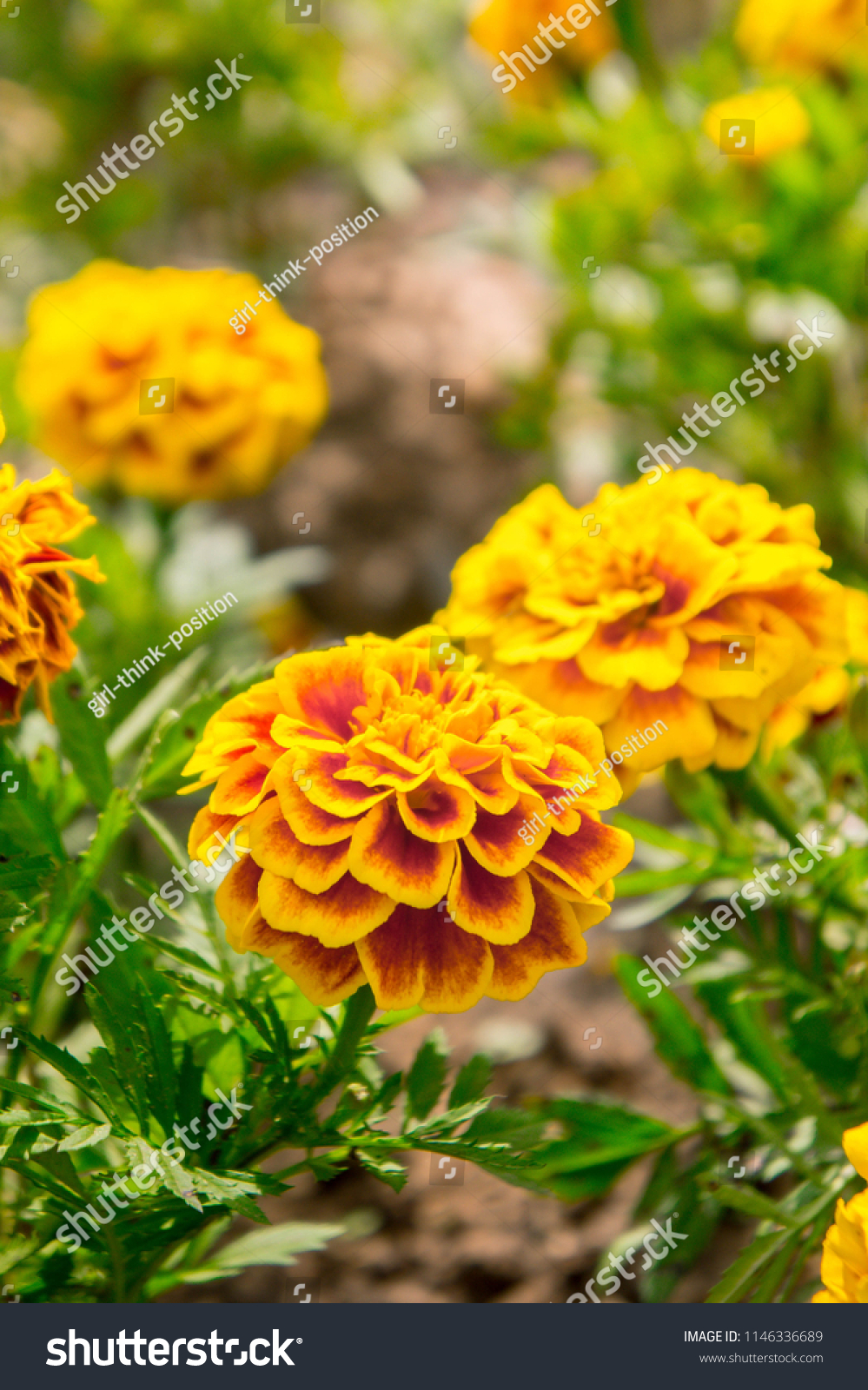 Marigold flowers garden on summer yellow stock photo edit now marigold flowers in the garden on summer yellow flowers beautiful flowers on summer in izmirmasajfo