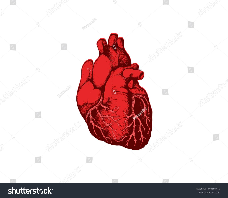 Realistic Detailed Human Anatomy Heart Closeup Stock Vector Royalty