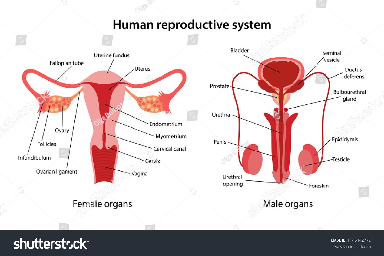 Human Reproductive System Main Parts Labeled Stock Vector Royalty