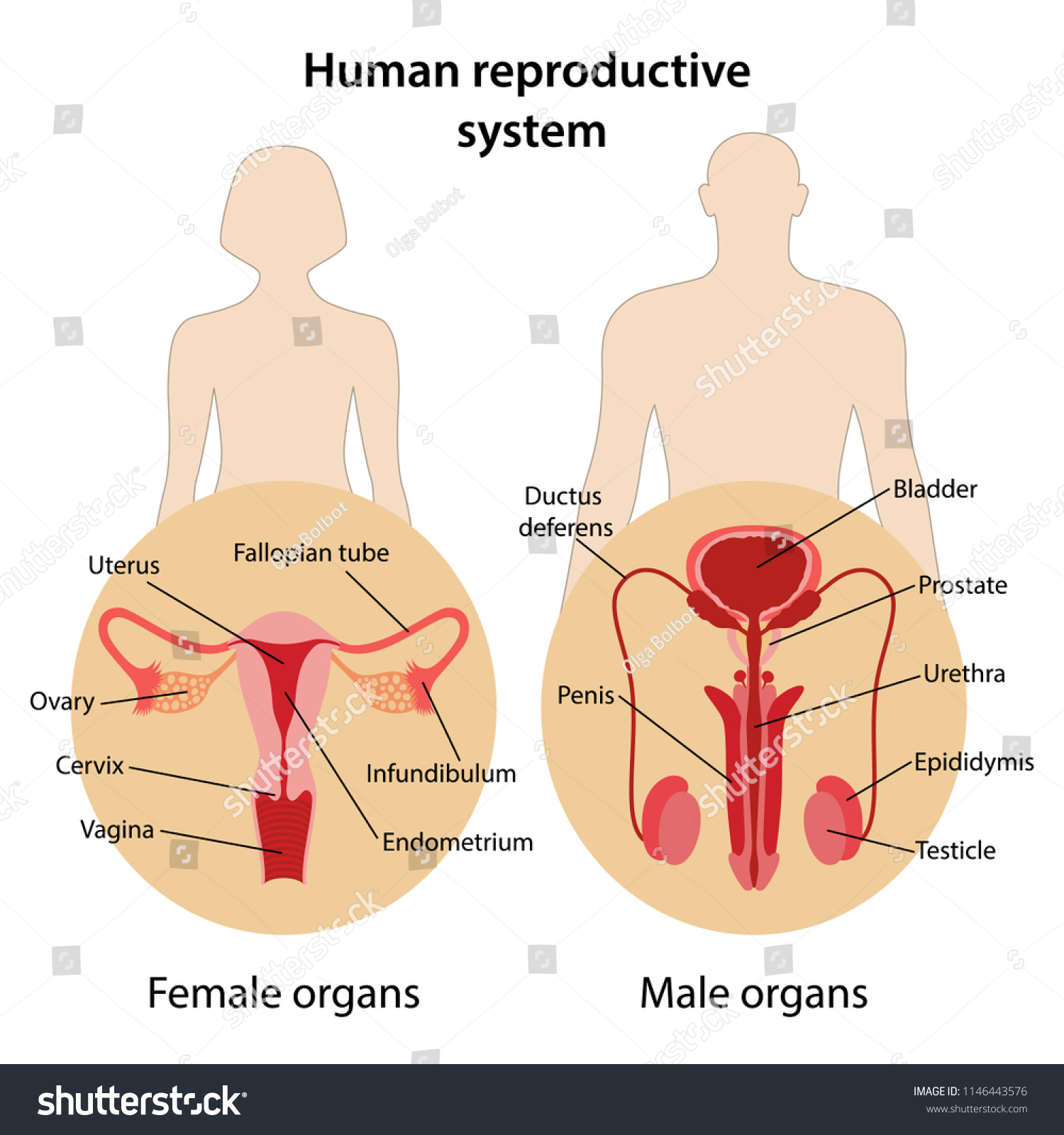 Human Reproductive System Main Parts Labeled Stock Vektorgrafik