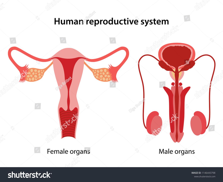 Human Reproductive System Anterior Views Vector Stock Vector
