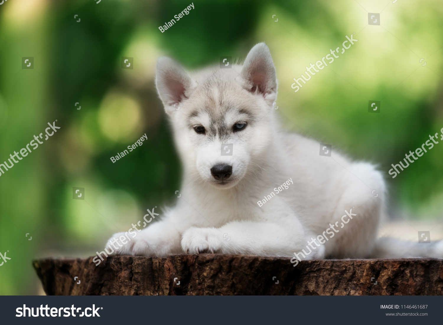 Beautiful Dog Breed Siberian Husky In The Forest Ez Canvas