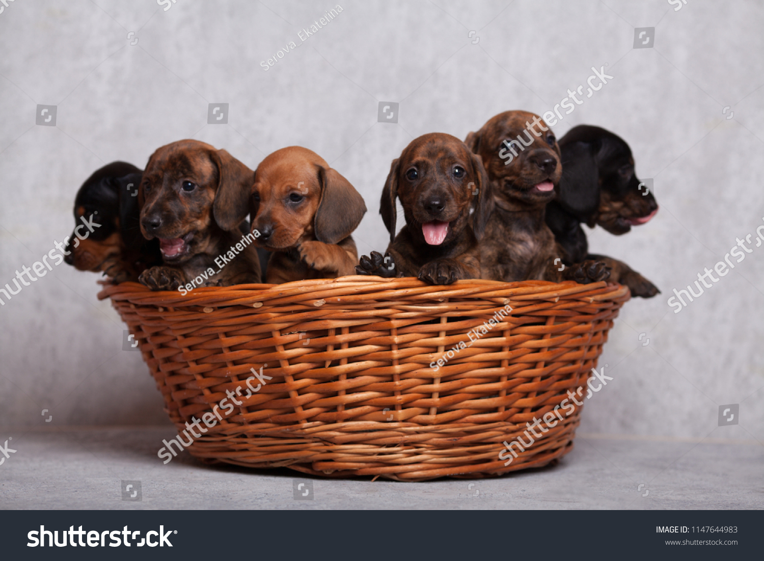 Lots Cute Dachshund Puppies On Grey Stock Photo Edit Now 1147644983