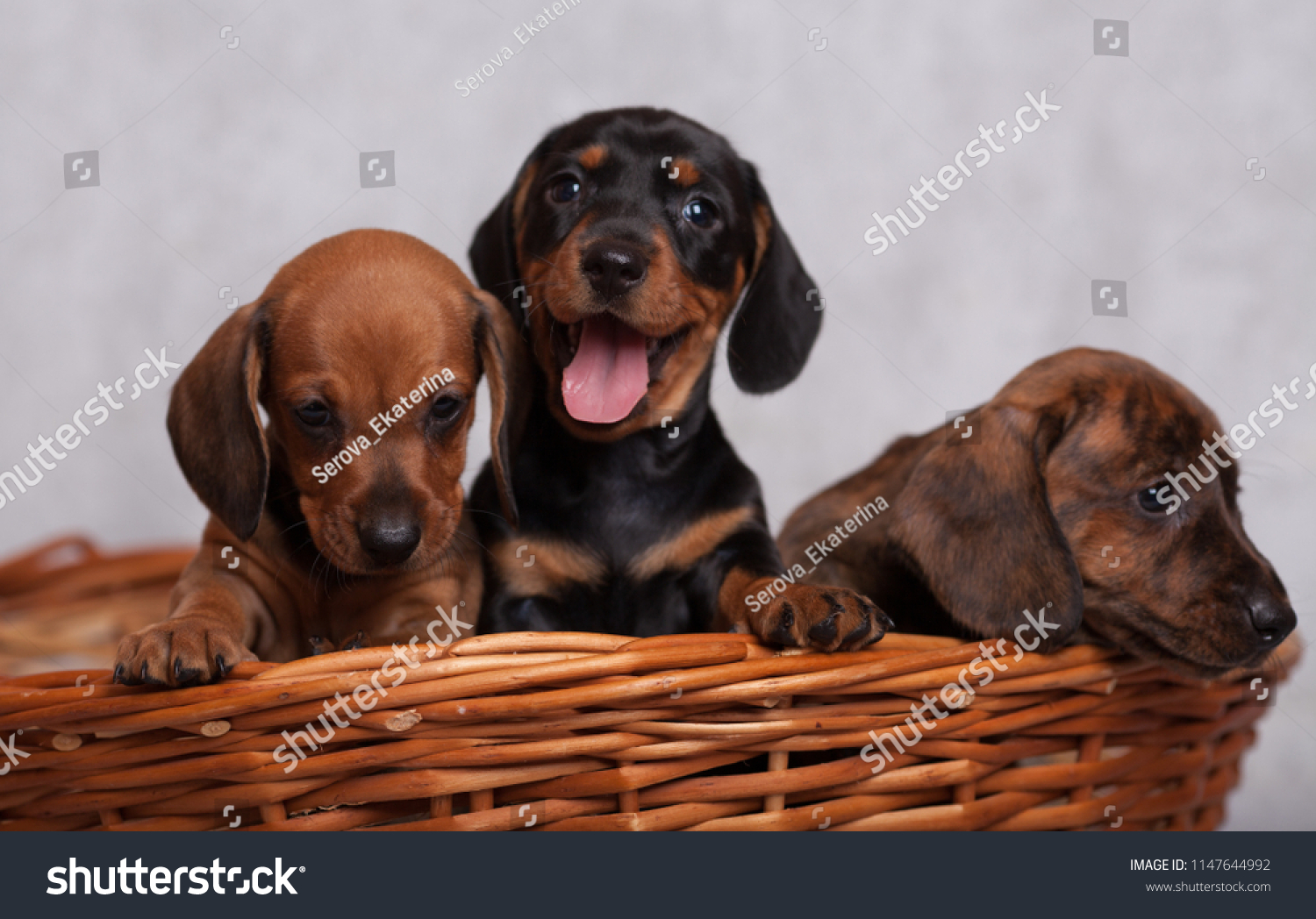 Lots Cute Dachshund Puppies On Grey Stock Photo Edit Now 1147644992