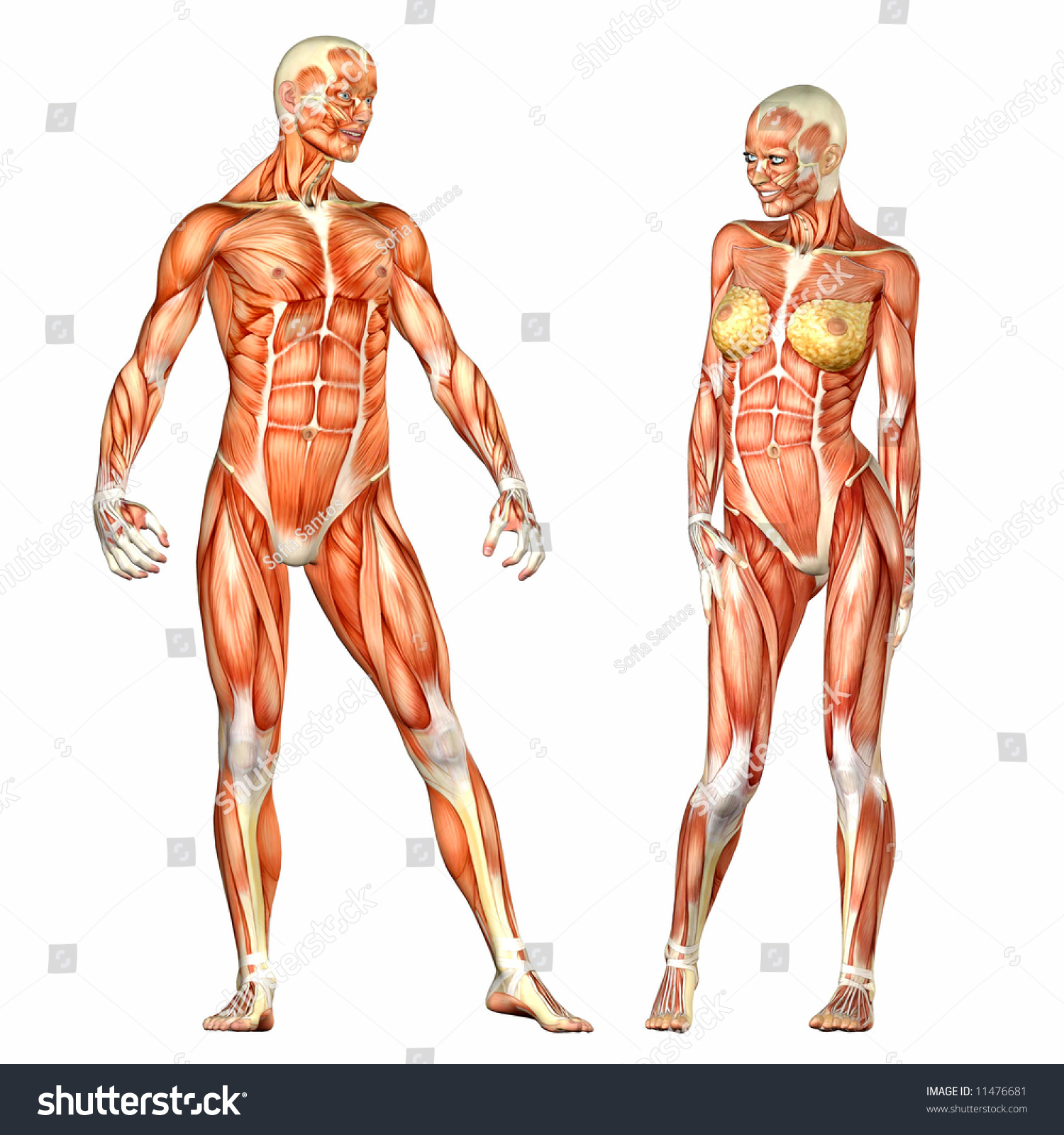 Human Body Anatomy Man Woman Stockillustration 11476681 Shutterstock
